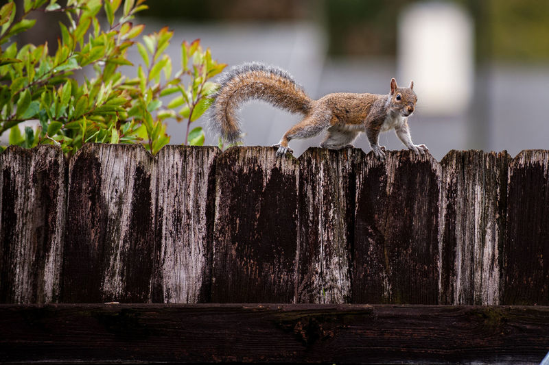 Got ya Animal, Animals, Squirrel, Squirrel Caught On A Fence, Close-up Landscape With WhiteWall, Birds, Squirrel, Squirrel On Fence, Fence, Nature No People One Animal Outdoors Perching Selective Focus Sunlight