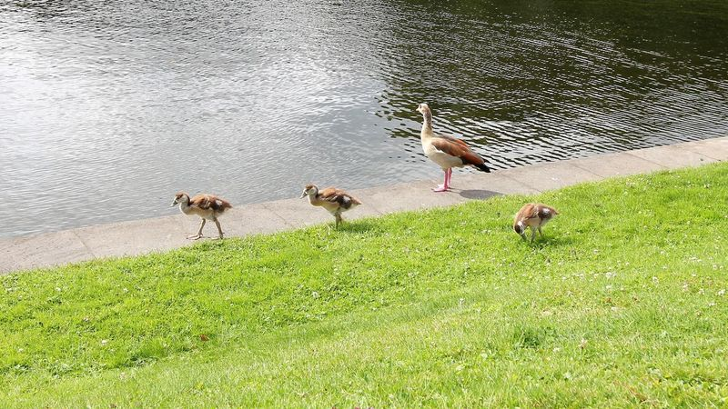 Family of Geese Geese Geese Family Geese In Nature Gooses Animal Themes Animal Wildlife Animals In The Wild Bird Day Geese At The Lake Geese Gathering Geese On Land Geese Photography Goose Goose At Lake Goose Chick Goose Family Gooses Family Grass Lake Nature No People Outdoors Water