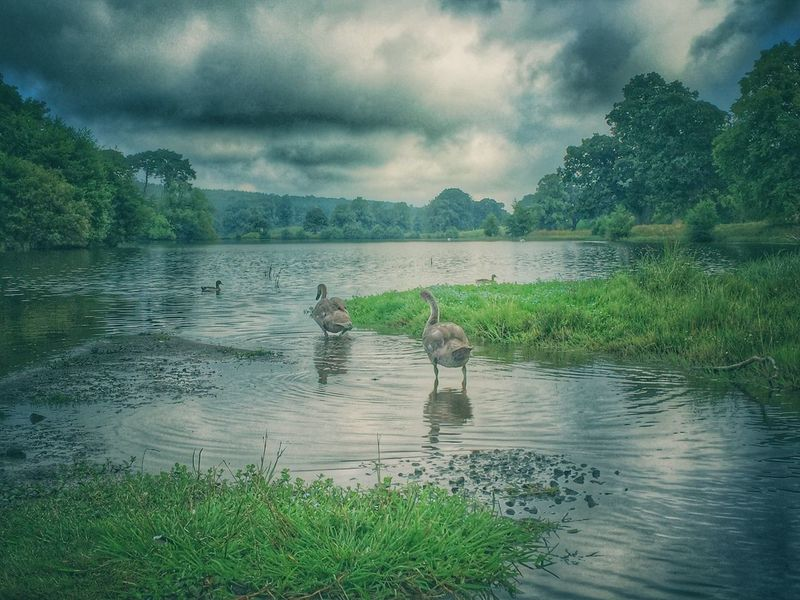 Young swans Bird Animals In The Wild Wildlife Water Cloud - Sky Lake Tranquility Water Bird Tranquil Scene Nature Scenics Animal Themes Avian Day Outdoors
