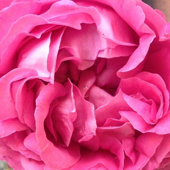 Пионо-розы Nofilter Iphoneonly Lisbon Portugal Iglisbon Igportugal Latergram Flower Rosé