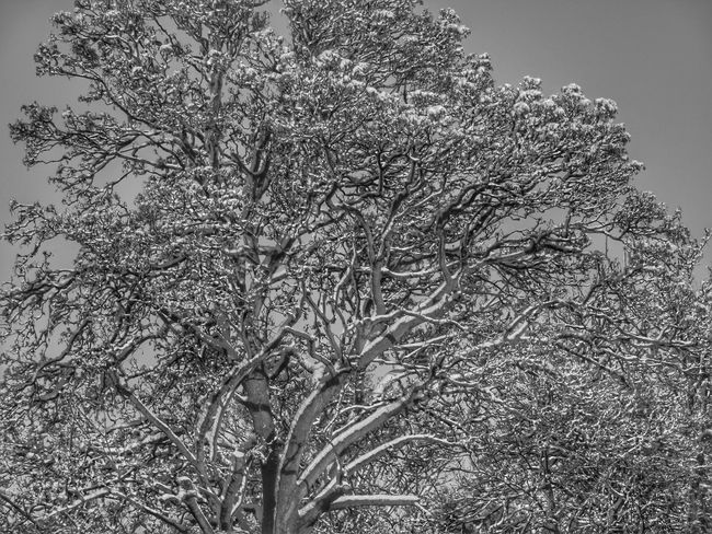 Throwback to Winter. Winter Nature Beauty In Nature EyeEm Nature Lover EyeEm Best Shots EyeEm Selects EyeEm Eyem Nature Lovers  Wildlife & Nature Blackandwhite Delicate Delicate Beauty Tree White Backgrounds Full Frame Cereal Plant Close-up Grass Sky Plant Weather Condition Snow Snow Covered Season  Frozen Weather Covering Snowcapped Cold Temperature
