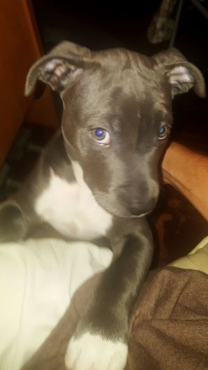 When your puppy knows you've done lost your damn mind. Puppy Love Dog Pampered Pets Puppyeyes Puppy Face Puppylife Loyalty Ilovemydog Ilovemypitbull Close-up Areyoukiddingme Areyoukiddingme Archersworld Archerthepitbullpup