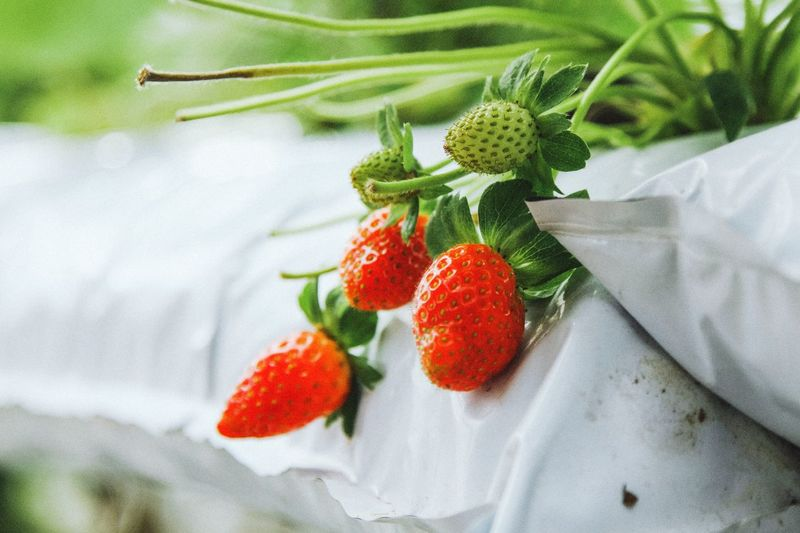 strawberries in natural background Strawberry Freshness Green Color Food And Drink Fruit Food Healthy Eating Day Leaf Red No People