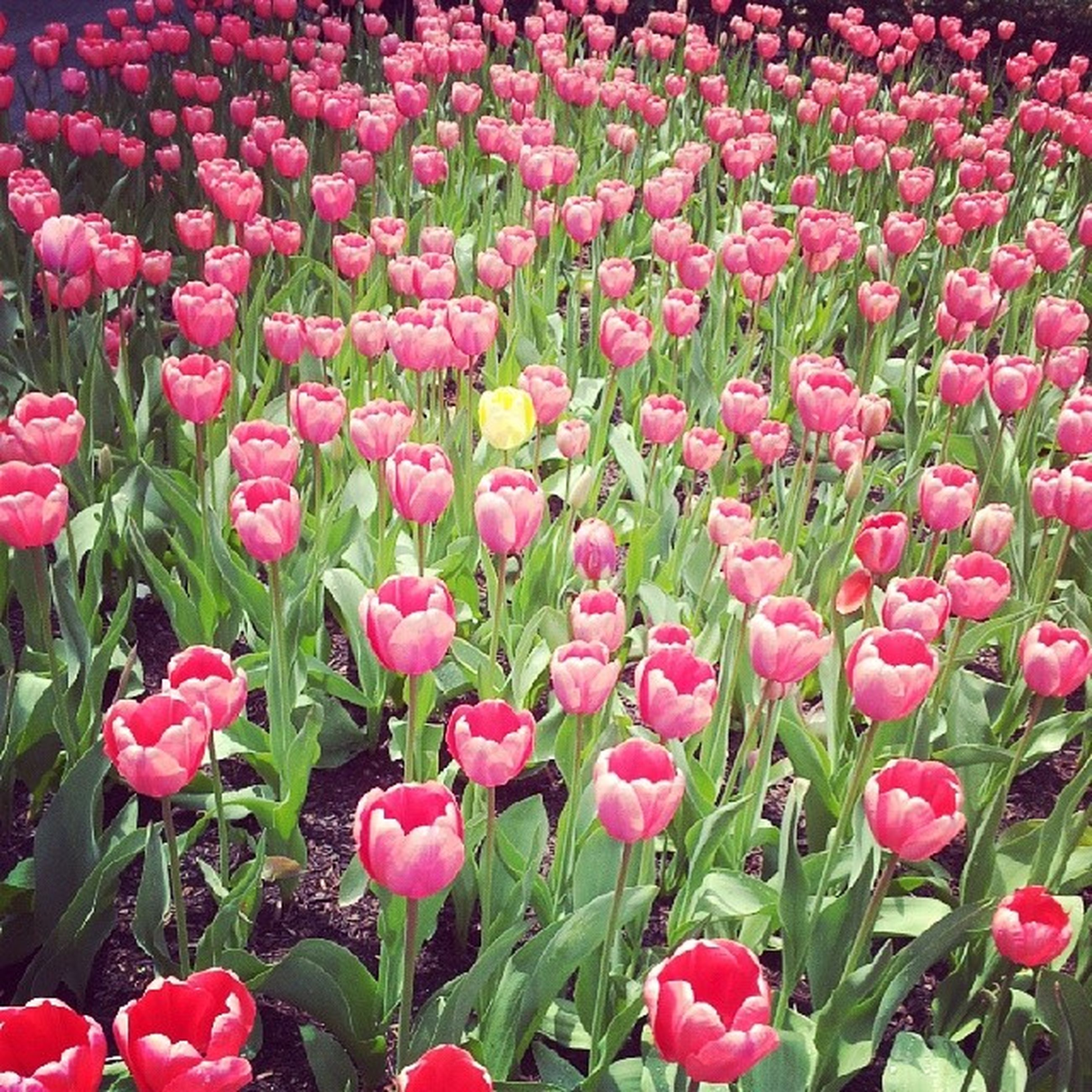 flower, freshness, growth, fragility, petal, beauty in nature, pink color, red, blooming, flower head, nature, plant, field, abundance, full frame, tulip, backgrounds, high angle view, in bloom, outdoors