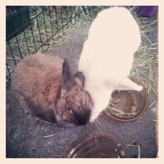 Zen & Frith apparently love banana! Bunny  Bunniesworldwide Ilovemybunny Ilovemyrabbit rabbitstagram rabbitsofinstagram