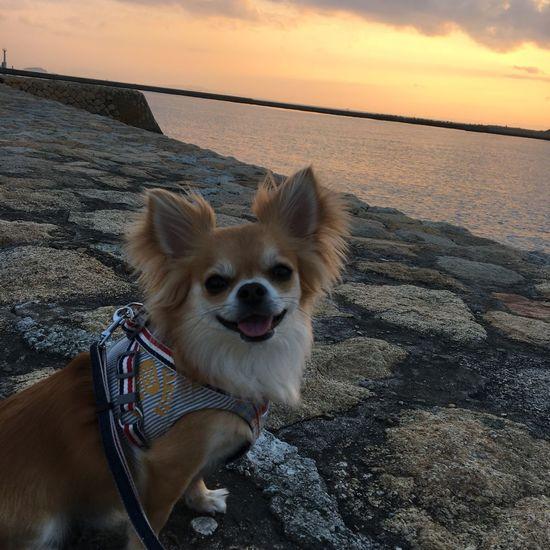 お疲れ様でした Dog Domestic Animals Pets Animal Themes Mammal One Animal Nature Horizon Over Water Sea Water Sky Sunset Outdoors No People Scenics Beauty In Nature Beach Day Close-up Niko Chihuahua Family