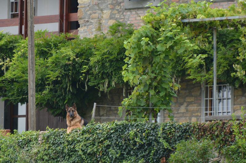 Canine lookout - Bergamo, Lombardy, Italy. Animal Animals Astino Bergamo Canine Curious Dog Green Italia Italy Lombardia Lombardy Lookout BYOPaper!
