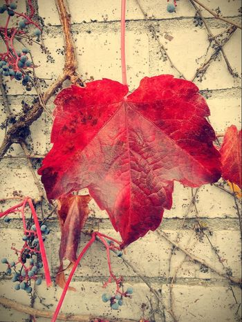 Red Close-up Pretty♡ Check This Out Picturejunkie Nature Autumn Beauty In Nature Leaf Architecture Perspectives On Nature