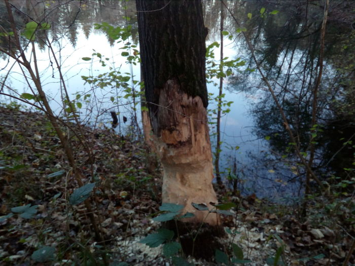 Forest Outdoors Nature Beaver Work
