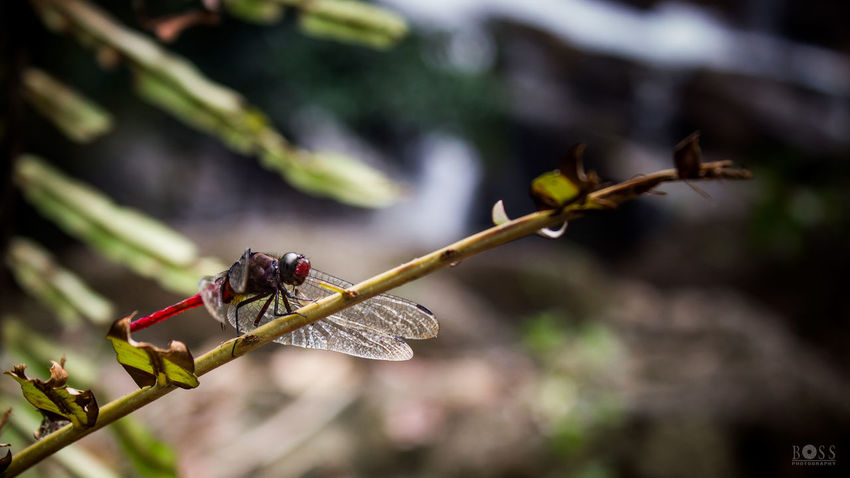 There was a reason this dragonfly stick at there for like 5 to 10 mins. Studies says dragonfly are strong fliers , but they have their limitation for a light body and flat wings , so they tend to hold themself in this kind of place. Close-up Nature Branch Butterfly First Eyeem Photo