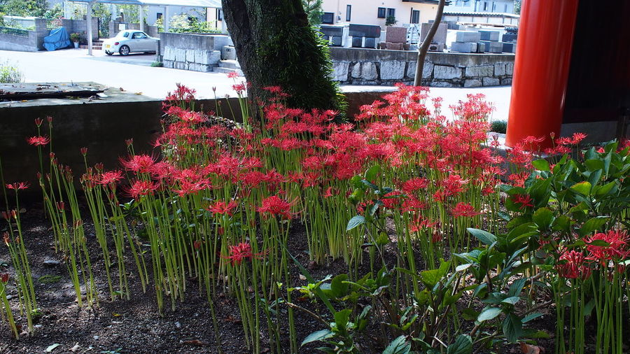 柱のたもと Spiderlily Red Flowerporn Temple M.zuiko Photowalk Streamzoofamily