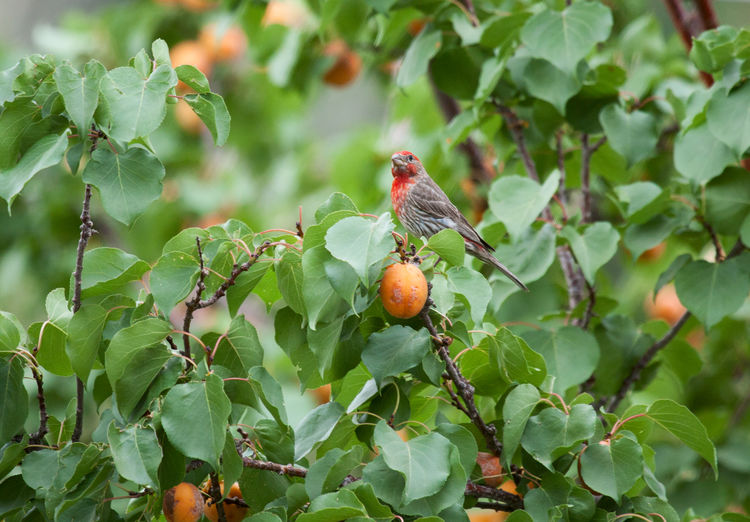 House finch raiding the apricot tree Nature Fruit Tree Leaf No People Outdoors Green Color Food Animal Themes Apricot Apricot Tree House Finch Finch Songbirds Tree One Animal Bird Wildlife Agriculture Adapted To The City
