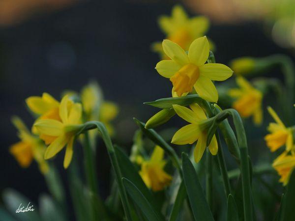 みんななにかをさがしている E-PL3 Flower 水仙 Narcissus Noedit