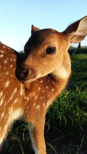 Fawn Deer Pet Photography  One Animal Animal Mammal Animal Themes Animal Wildlife No People Domestic Animals Sky Close-up Animal Head  Day Plant Clear Sky