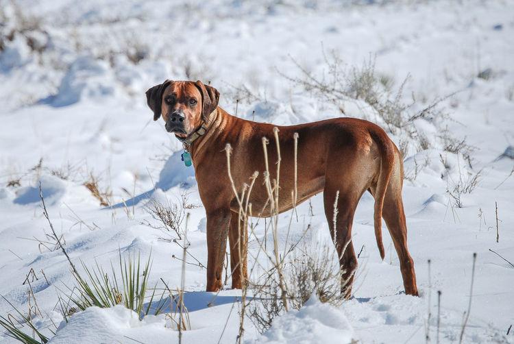 Portrait of rhodesian ridgeback on snowcapped field