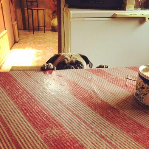 Tan bello mi bebe ❤️ Ilovepugs Pug Love Pug Life ❤ Pug Chile Pug Pequeño Frank Pug Life