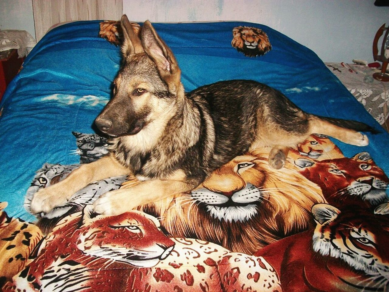 domestic animals, pets, animal themes, bed, indoors, dog, mammal, lying down, relaxation, no people, close-up, bedroom, day