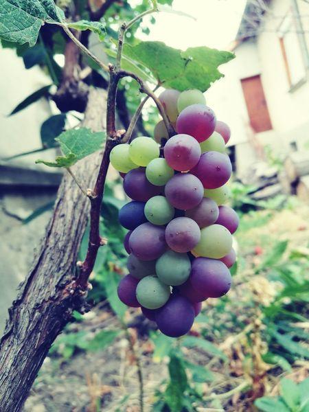 Grapes 🍇 Grapefruit Grapes Growing Grapes🍇 Grape Tree Growth Fruit Close-up