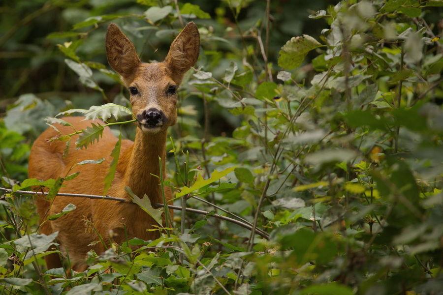 Animal Animal Themes Beauty In Nature Eating Outdoors Ree Reegeit Roe Deer Veluwe