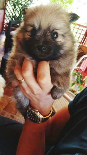 puppy Human Hand Pets Dog Friendship Holding Close-up Lap Dog Puppy Pomeranian Pet Owner Small