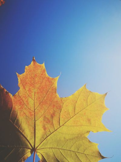 Low angle view of maple leaf against blue sky