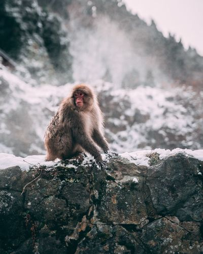 Monkey on rock in snow