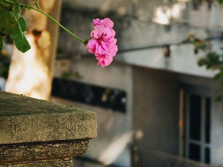 Flying beauty Hiedra Geraniohiedra Geranio Flowers Flower Flowersofinstagram World_bestflower Pink Balcony Balconygarden Balconyflowers Balcon Balconesdemontevideo Montevideo Audiovisualuruguay Igersuruguay Portadaigers Igersoftheday Amateurs_shot Amateurphotography Nikonphotography Fotografosuy Photooftheday Nature City colour beauty