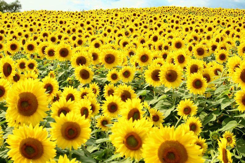Paint The Town Yellow The Week On EyeEm Sunflower Field Sunflowers