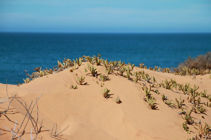 Succulent plants on a sand dune Beach Beauty In Nature Contrasting Colors Day Dune Horizon Horizon Over Water Idyllic Land Nature No People Non-urban Scene Outdoors Plant Sand Sand Dune Scenics - Nature Sea Sky Sky Sea Sand Succulent Plant Sunlight Tranquil Scene Tranquility Water
