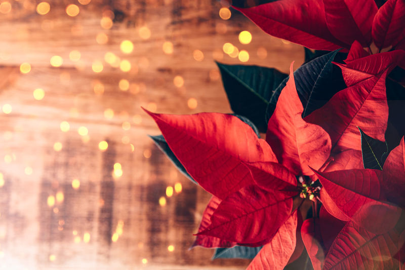 Christmas poinsettia in ceramic pot. christmas traditional red flower on wooden table