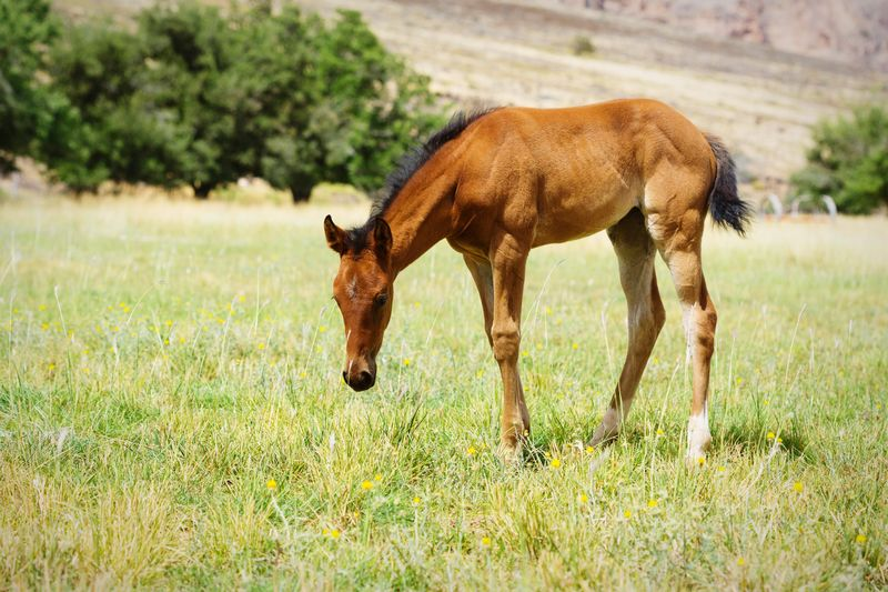 foal in field Horse Field Farm Equine Young Animal Brown Green Grass Quarter Horse Baby Horse Horse Photography  Horses Mother And Baby Herd Rural Cute Cute Animals Baby Animals Grass Animal Themes Grazing Foal Herbivorous Pony Hoofed Mammal Grass Area Pasture Livestock