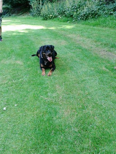 Tongueouttuesday Dogs Of EyeEm Dogoftheday EyeEm Animal Lover Hundeleben Rottweiler Mein Hund Play With The Animals Draußen Im Grünen Ich Liebe Meinen Hund! Gruss zur Sonne! !!