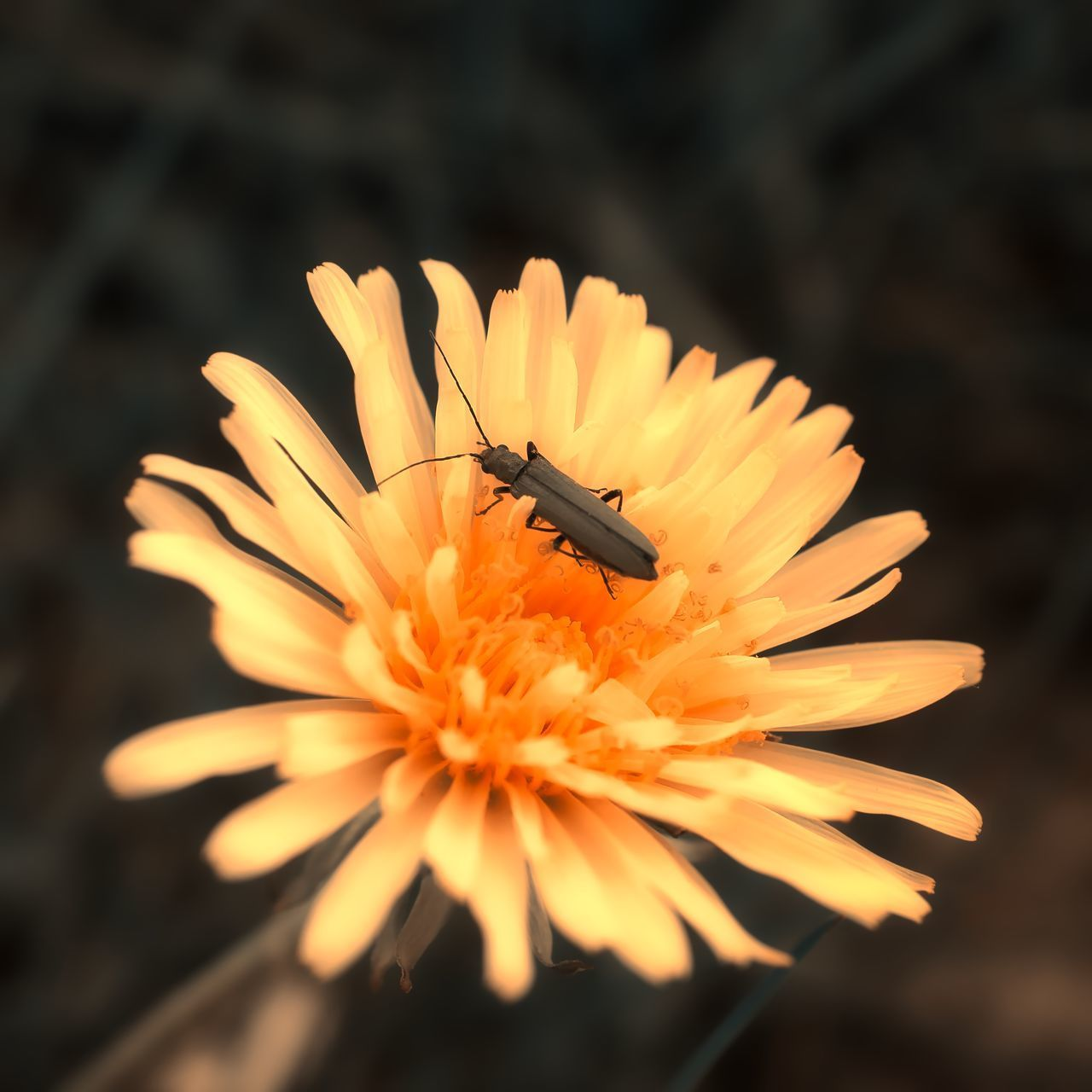CLOSE-UP OF INSECT POLLINATING ON ORANGE FLOWER