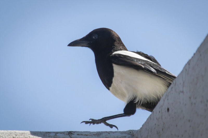 Magpie in action - ITALY City Colors Crime Scene EyeEmNewHere Italia Magpie Bird Nature Puglia Running Theft Action Animal Bird Blackandwhite Close-up Foggia House Italy Lucera Magpie Magpies Motion No People Thief Urban EyeEm Selects Pet Portraits