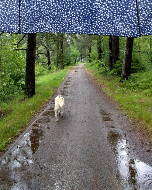 On our Daily Walk In The Woods in Sweden in the Rain Rainy Day Labrador Retriever In The Forest Eye Em Nature Lover Trees Path Nature_collection Nature Photography Under My Umbrella Umbrella