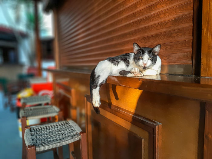 Cat resting on the counter of a bar, zakynthos island, greece