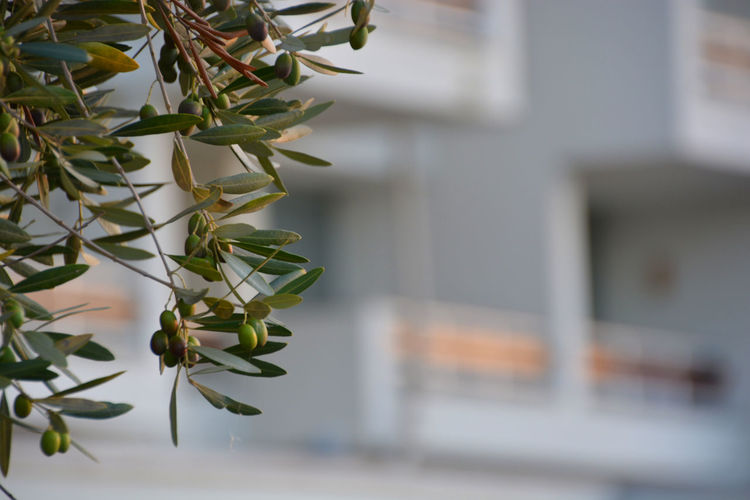 olive tree in front of hotel Close-up Day Focus On Foreground Leaf Nature No People Olive Olive Tree Plant