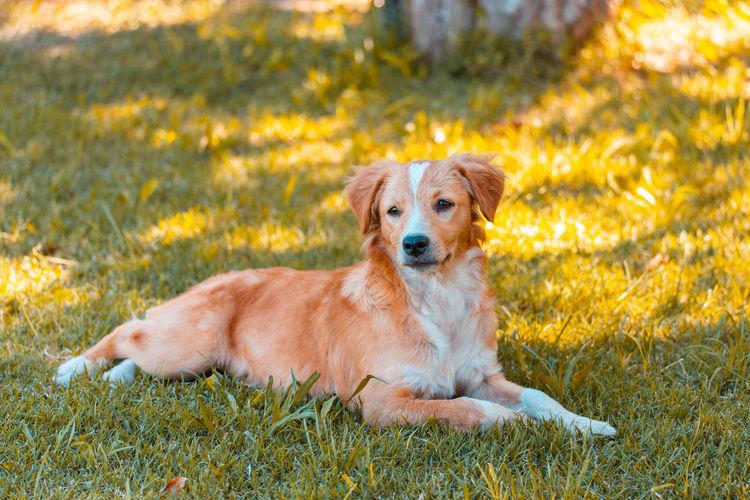 Portrait of golden retriever sitting in grass