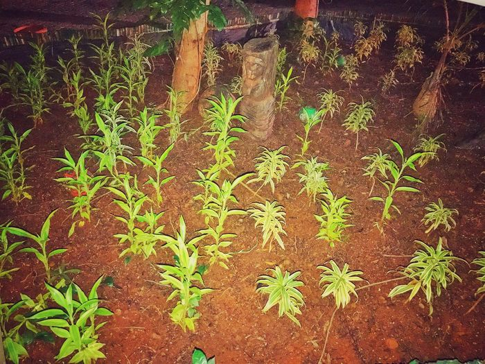 Plant Growth Leaf Nature No People Outdoors Green Color Day Beauty In Nature Herbal Medicine Close-up Freshness Garden Photography Garden Little Plants🌿 Garden City Plants Plants And Flowers Plants 🌱 Plants