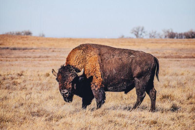 American bison standing on grassy field