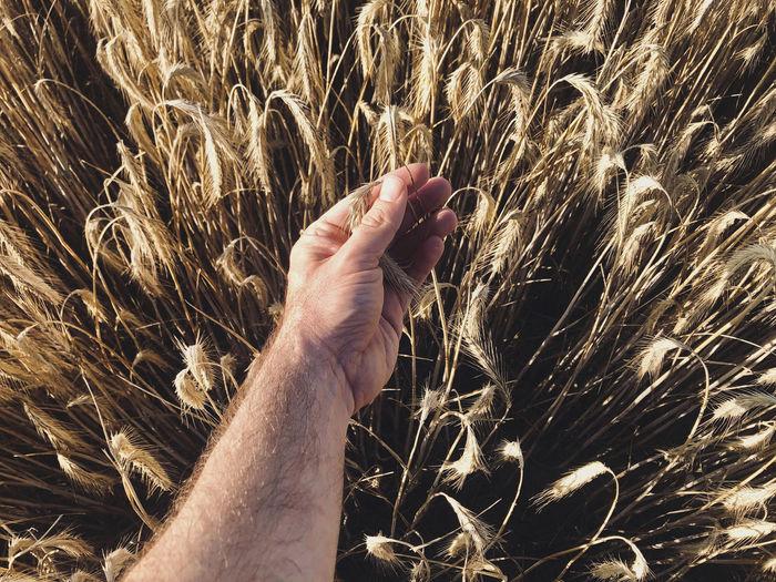Male hands brushing golden wheat ears