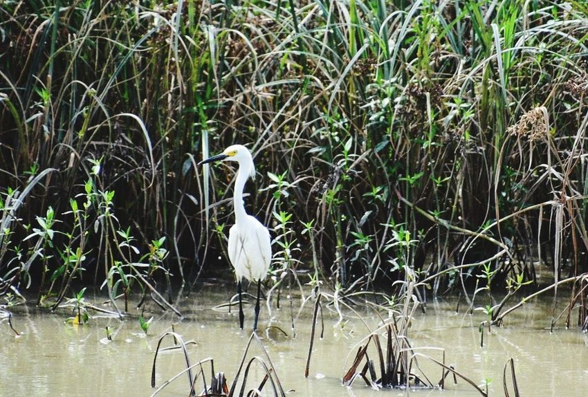 Animals In The Wild Lake Nature Water Animal Wildlife Bird Outdoors Day Swamp Plant No People Beauty In Nature South Louisiana Landscape Grass Field Full Frame Bird Photography Birds_collection Birds Of EyeEm  White Color Cowbird