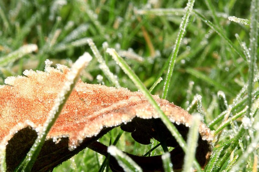 Frosty morning in polegate. Leaf Growth Close-up Wet Autumn No People Beauty In Nature Drop Outdoors Change Plant Day Water Maple Leaf Tree Maple RainDrop Freshness