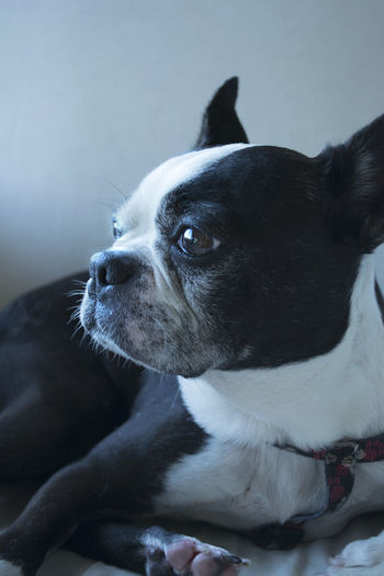 A boston terrier dog is resting on a chair and taking a nap. The soft sun is coming through the window nearby. Boston Terrier Close Up Dog Domestic Animals Focus On Foreground Mammal Nap Napping One Animal Pets