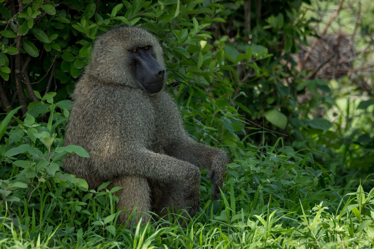 Nature Tanzania Travel Africa Animal Animal Wildlife Animals In The Wild Baboon Care Day Green Color Land Mammal Nature No People Olive Baboon One Animal Outdoors Plant Primate Safari Sitting Tree Vertebrate Wildlife
