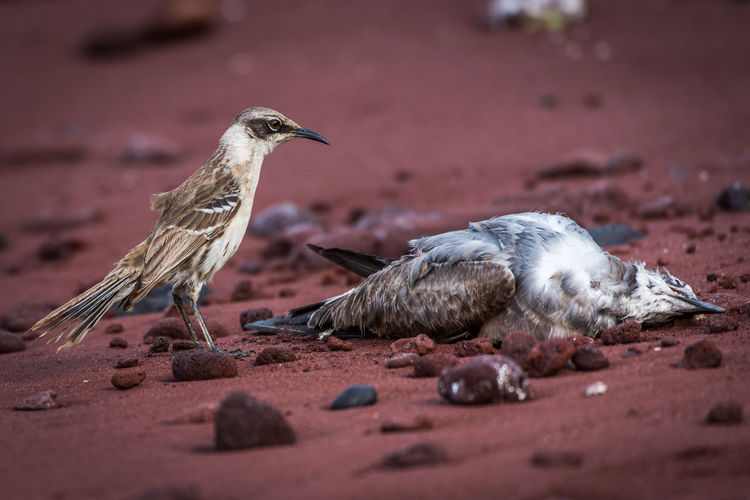 Galapagos Mockingbird Watching Dead Bird On Beach