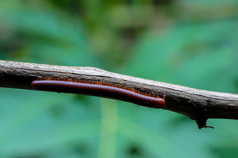 Two millipedes hanging on the branch outdoor in the forest