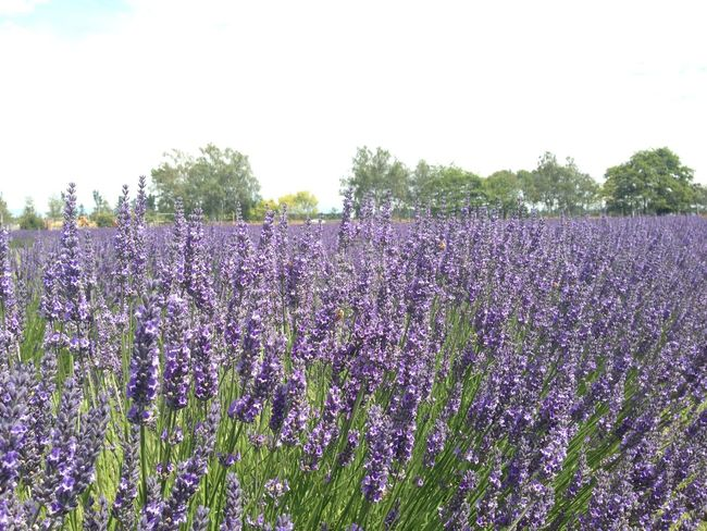 Beauty In Nature Day Field Flower Fragility Freshness Growth Landscape Lavender Lavender Colored Nature No People Outdoors Plant Purple Scenics Tranquility Tree Neon Life EyeEm Selects EyeEmNewHere