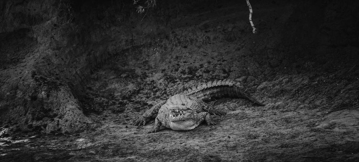 Africa Animal Themes Animals In The Wild Blackandwhite Croc Crocodile Kenya Masai Mara Monster Nature No People Outdoors Safari Safari Animals Wildlife Wildlife Photography