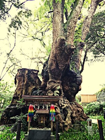 Big Camphor Tree✴︎